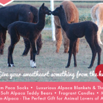 Valentine's Day Specials at Outstanding Dreams Alpaca Farm