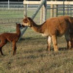 Outstanding Dreams Alpaca Farm to Host Holiday Open House December 10th.