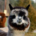 9th Annual Alpaca Festival & Open House at Outstanding Dreams Farm